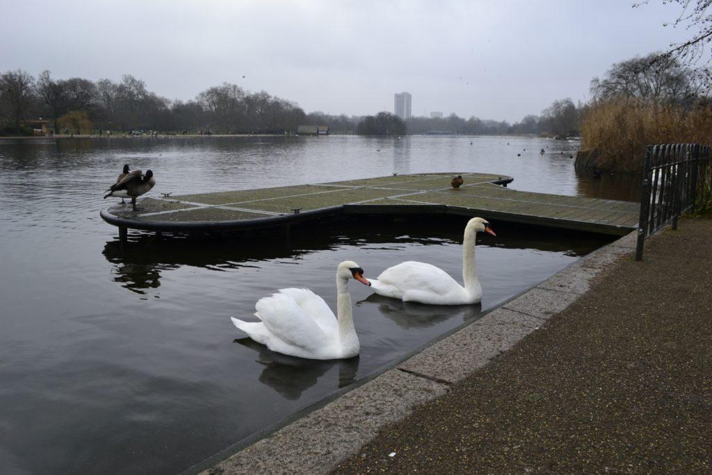Cisnes en The Serpertine, el lago de Hyde Park